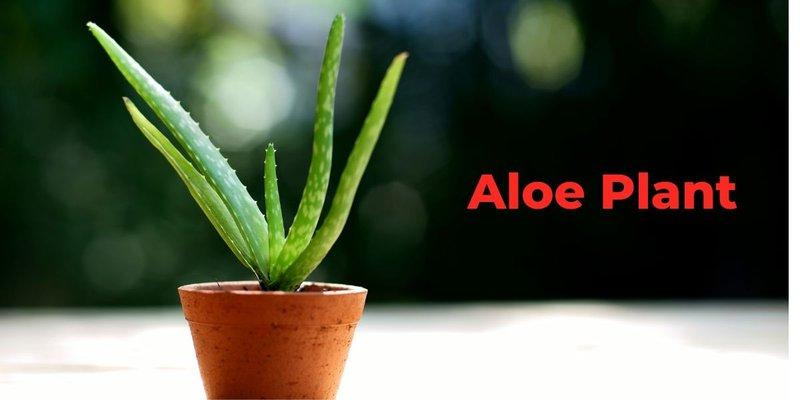 Indoor Aloe Plant