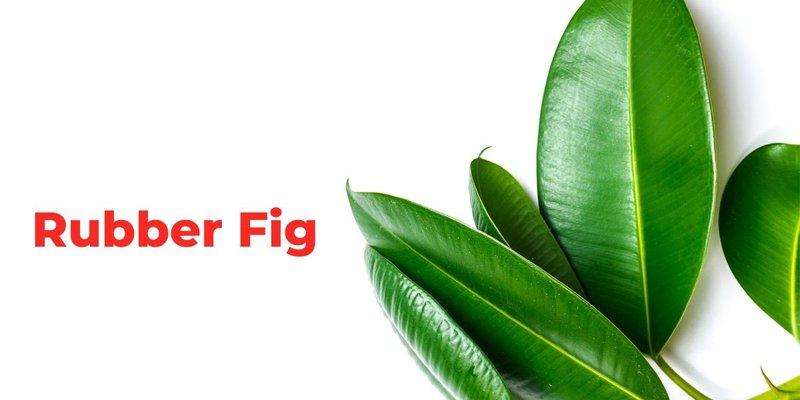 Rubber Fig indoor plant